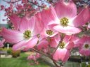 Pink Dogwood in Bloom